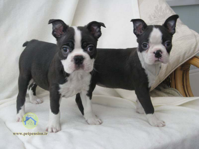 بوستن تریر-Boston Terrier